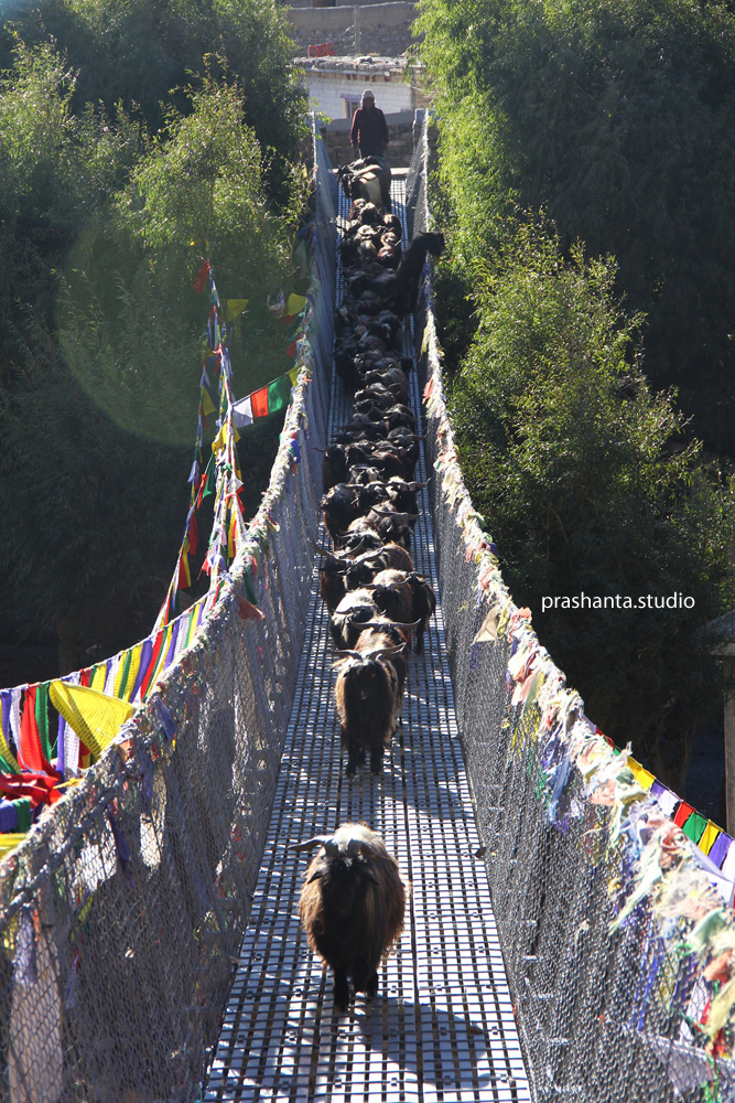 कागबेनीको झोलुङे पुलमा च्याङ्ग्रागरु तर्दै