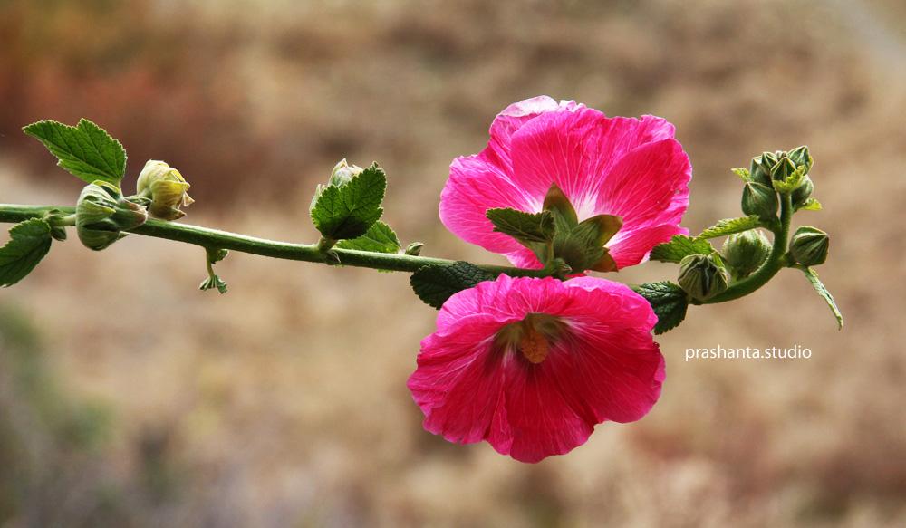 बाटॊमा फूलेकॊ सुन्दर फूल